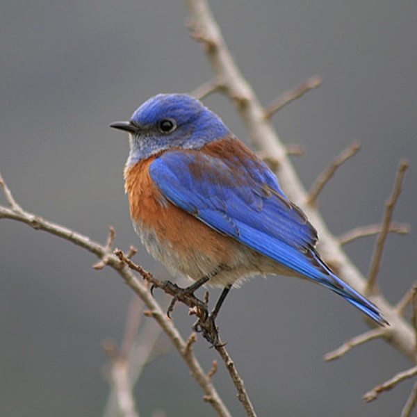 Bluebirds Arrive in the Vineyard